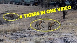 Ranthambore Tiger Sighting | T19 Krishna with her Cubs