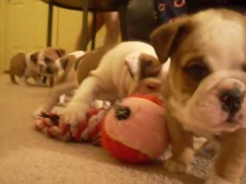 English Bulldog Puppies Playing- Too funny