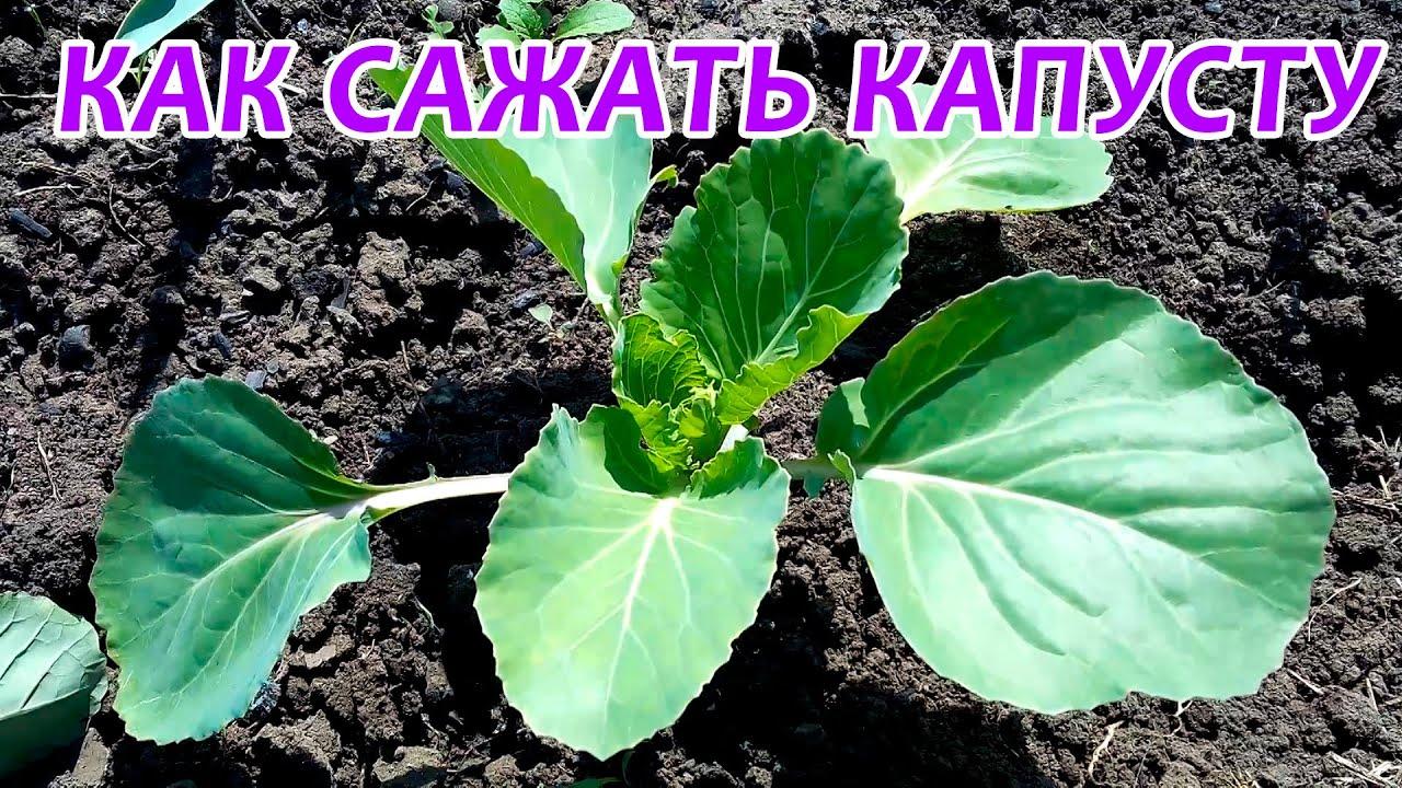 Как правильно сажать капусту в открытый грунт 47