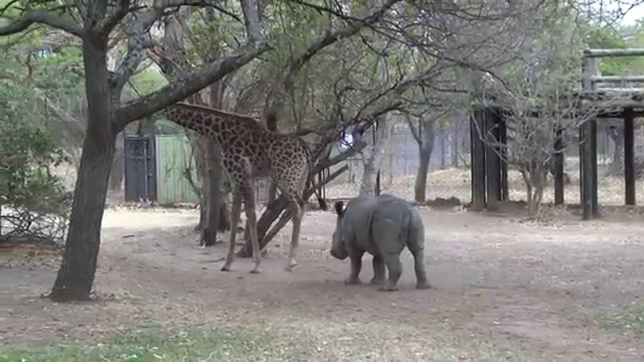 Une girafe donne un coup de patte à un rhinocéros