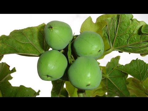 Clique e veja o vídeo Curso Cultivo de Pinhão Manso para Produção de Biodiesel