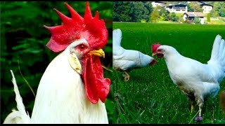 CHICKEN BREEDS E7: White Leghorn hens and rooster, egg layers, Legehybriden Weiß Legehennen