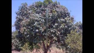 arboles de mango - frutales