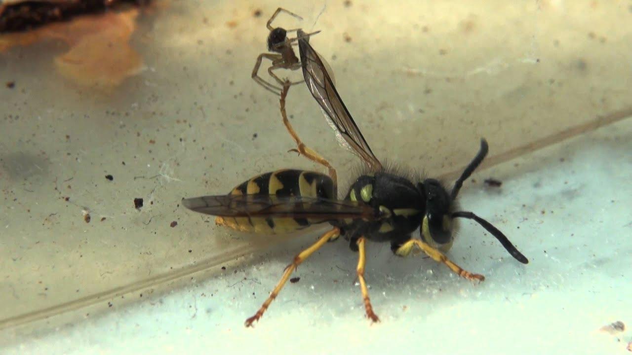 Black wasps