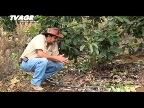 Tv Agro - Aguacate Hass