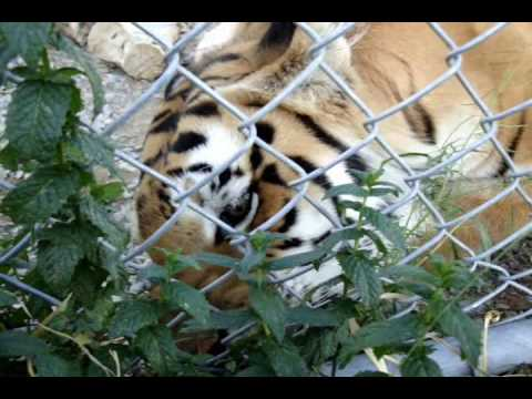 Tigress Eats Mint Leaves