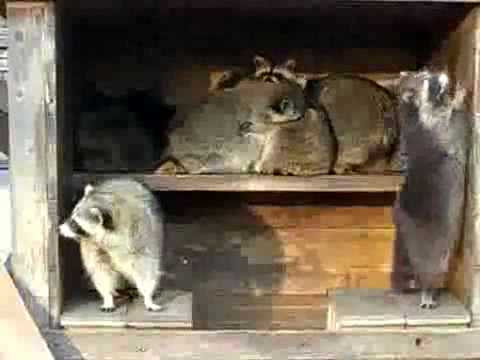 Crazy Raccoon House Party.flv