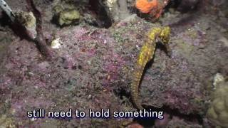 Seahorse's Walking On Reef