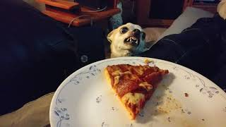 Tiny mad Chihuahua dog hates pizza and growls at it! Addie Acres