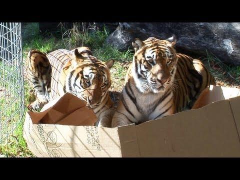 Большие кошки тоже любят сидеть в коробках