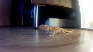 Bearded Dragon Hunting Agama