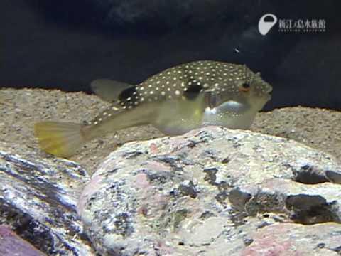 目の前で膨らむフグ - The globefish which swells out