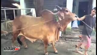 Crown Prince of Nirjash Agro - 2015 - Bangladesh er Gorur Haatt