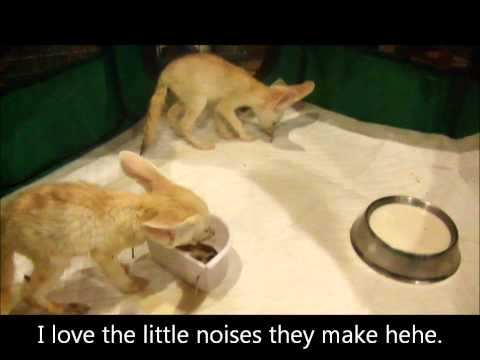 Fennec fox babies eating