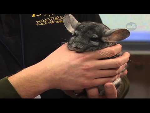 Homework Hotline Segment With The Seneca Park Zoo - Chinchilla video