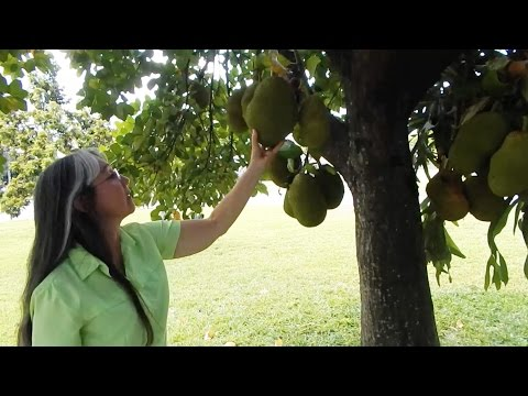 Sarah's Front Yard Jackfruit Tree in South Florida