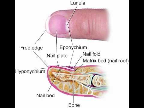 Anatomy of the fingernail