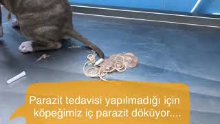 Kedi ve Köpeklere iç parazit tedavisi yapılmaz ise ne olur?