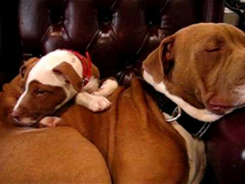 Red Nose Pitbull-Ace, Queen, and Diesel Video