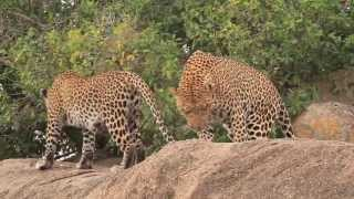 Mating Lions & Leopards