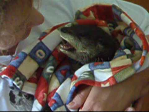 Baby otter being cared for