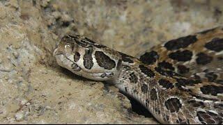 Cascabel del pantano (Crotalus polystictus) - Zoológico de San Juan de Aragón