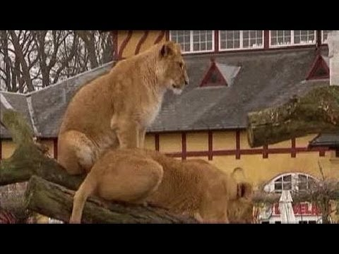 Danish Zoo Kills 4 Lions After Feeding Them A Giraffe