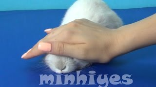 Cute Bunny. My home pet lop eared bunny. Interesting facts about rabbits