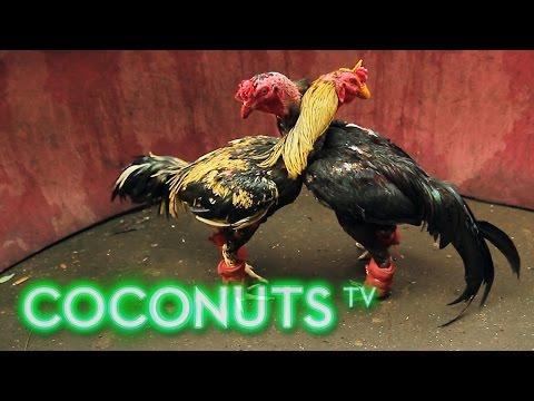 Kind or Cruel | Animal Combat in Thailand | Cockfighting | Part 1 | Coconuts TV