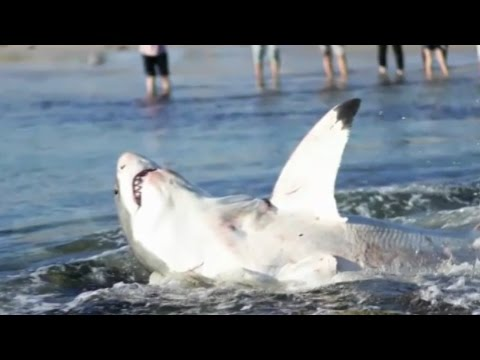GREAT WHITE SHARK CHOKES TO DEATH ON SEA LION