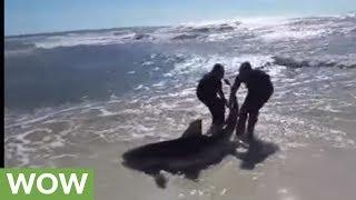 Brave fishermen rescue beached dusky shark