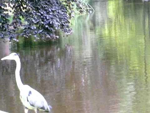 Pelican in Vondel Park Amsterdam