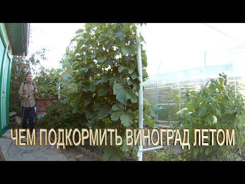 Внекорневая подкормка винограда в июле.Чем подкормить виноград летом.Удобрение и подкормка винограда