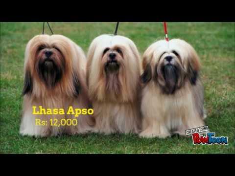 Lhasa apso price in bangalore dating