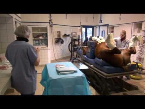 Castration Inguinale Chez Le Cheval Couché, Sous Anesthésie Générale video