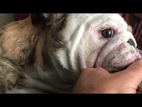 Working At Home With A Playful Bulldog