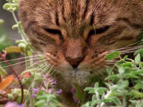 Youtube Big Cat Rescue Catnip
