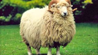 Wool sheep breeds