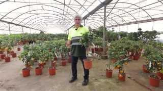 Variedades de árboles frutales cítricos
