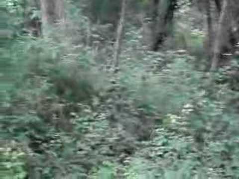 Treino de cães de caça ao coelho bravo
