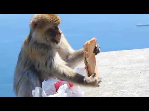 ►Sandwichmonkey◄ Monkey stole and ate a sandwich