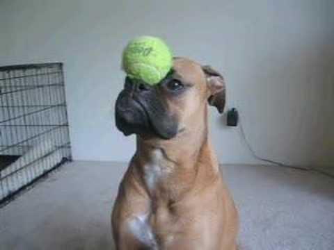 なんでも鼻の上でバランスを取るボクサー犬がカワイイ♪