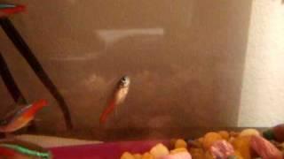 Neon Fish Swimming Bladder Problems