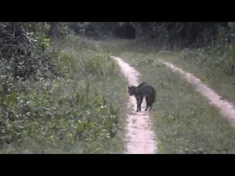 Cachorro-do-mato é filmado na Juréia