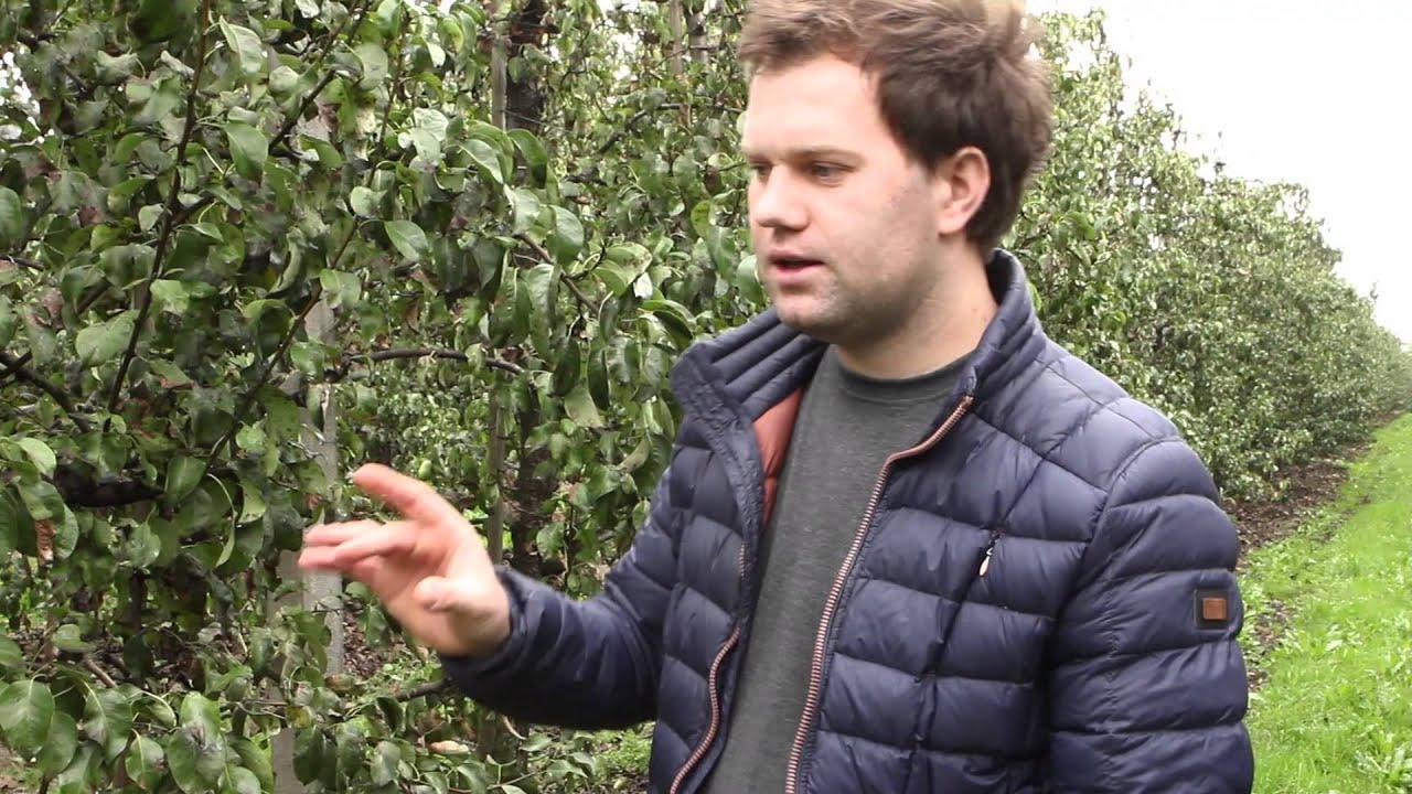 uprawa jabłek, forum sadownicze, miodówka gruszowa
