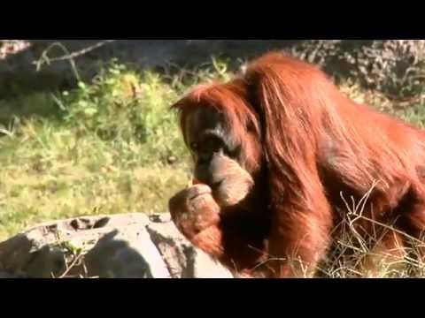 Science Nation - Orangutan Copy Cats