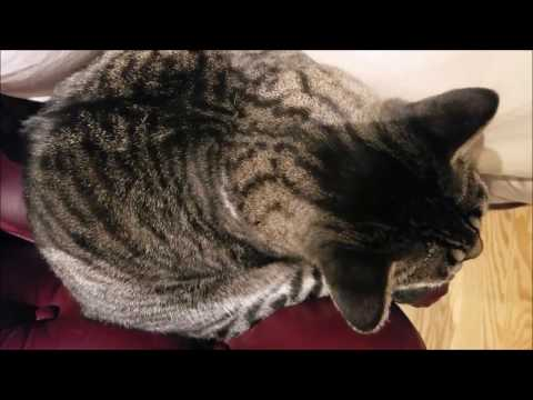 Feline Observational  - Tacy Cat Grooming From Above