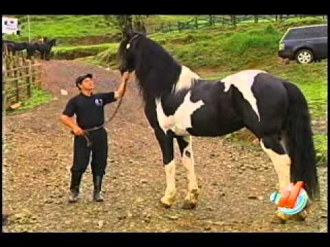 Conozca un caballo único en el país