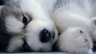 Pomsky Puppies cute Puppy Pomskies Cross Pomeranian Husky Tiny Adorable Baby POM Pomskys compilation