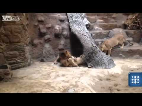 Lion kills lioness in Polish zoo